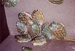 飼育中の母貝イメージ